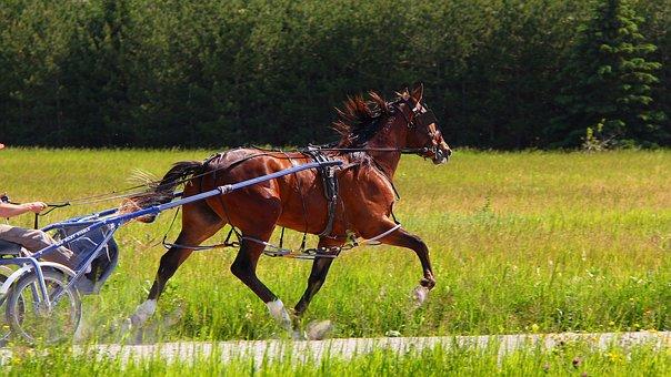 Animal, Horse, Standardbred, Brown, Bay