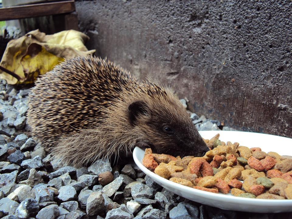 mad til pindsvin