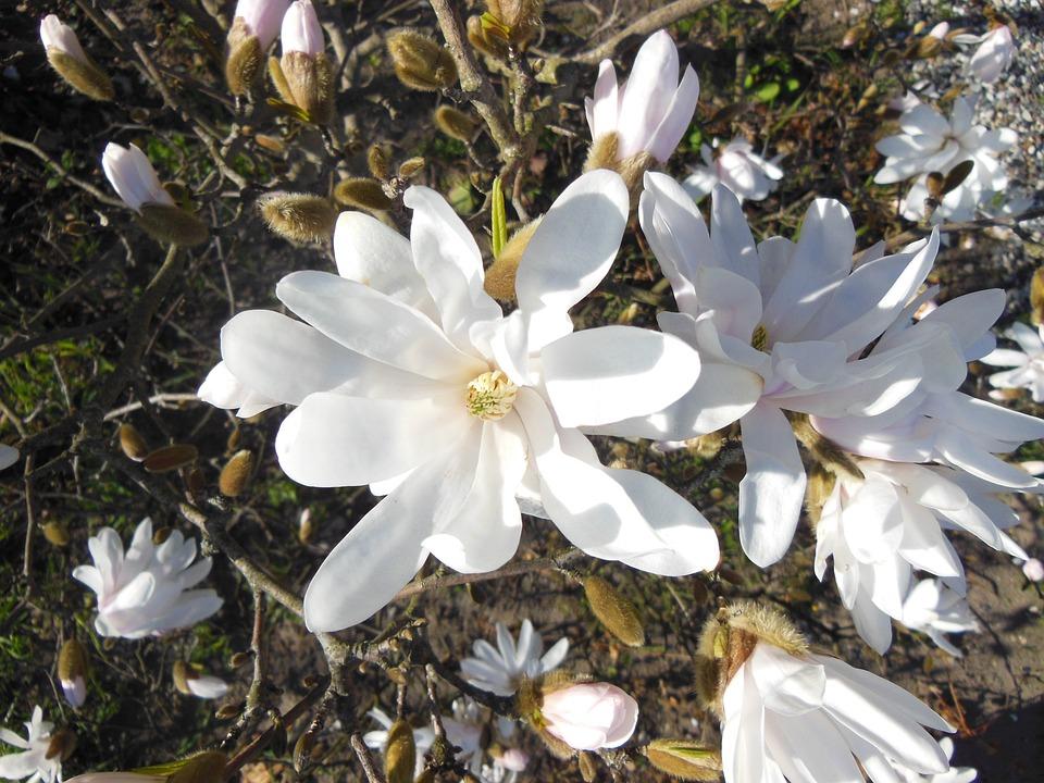 Magnolia White Flowering Trees Free Photo On Pixabay