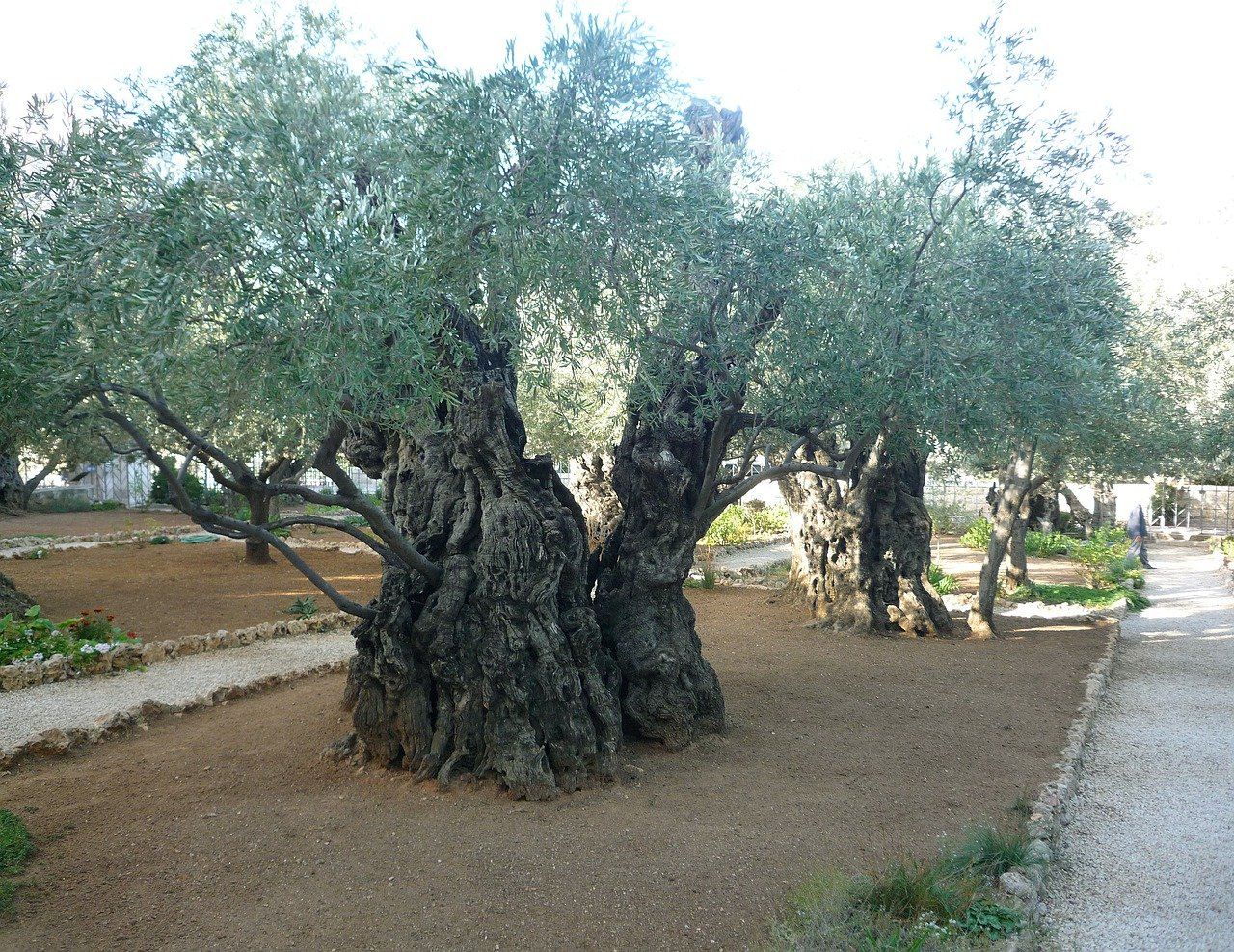 Olive trees in Jerusalem