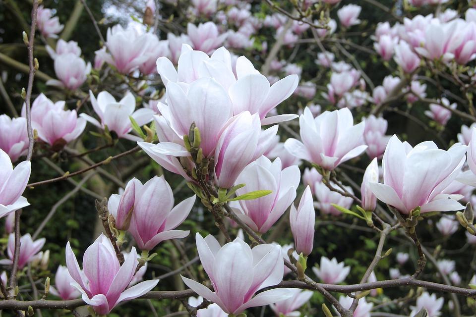 木蓮の花言葉と由来・こぶしとの違い・色別の花言葉|紫/白/青