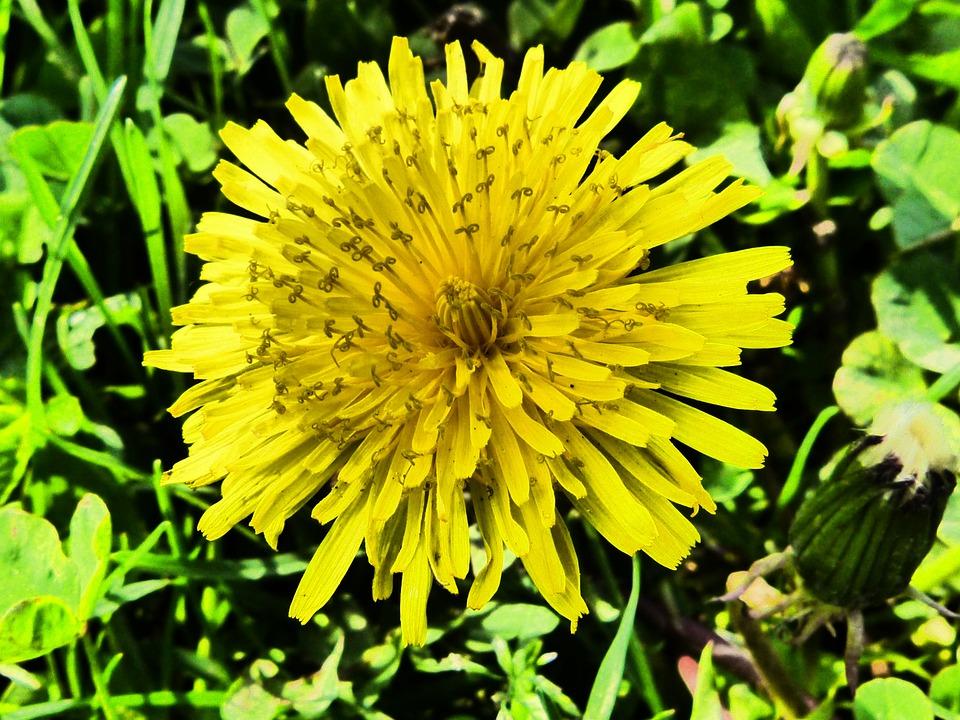 Photo gratuite pissenlit fleur jaune printemps image gratuite sur pixabay 109347 - Arbuste fleurs jaunes printemps ...