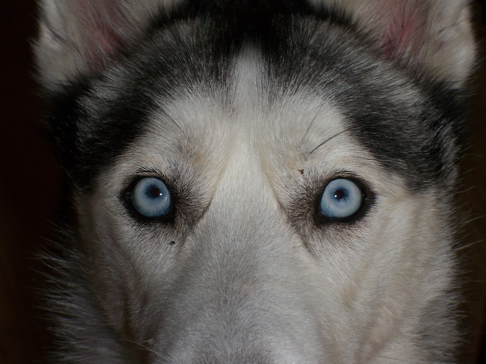 Eyes Blue Siberian Husky Close Free Photo On Pixabay