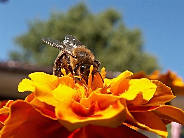 Sarı Çiçek Bal Arısı