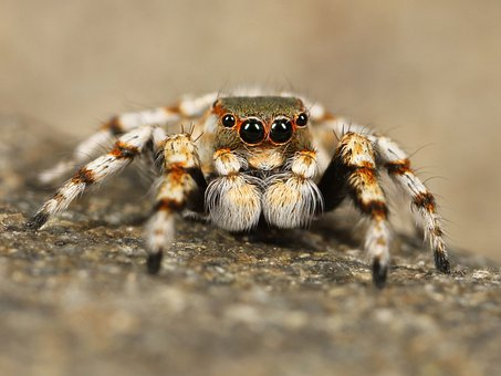 Jumping Spider, Tarantula, Bird Spider