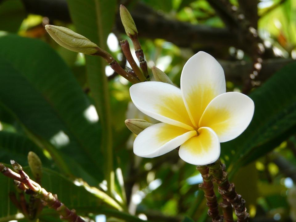 Fleur De Frangipanier Ile Maurice Photo Gratuite Sur Pixabay