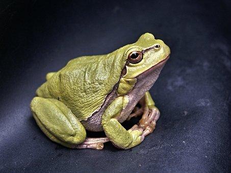 Frog Macro Amphibian Green Tree-Frog Repti