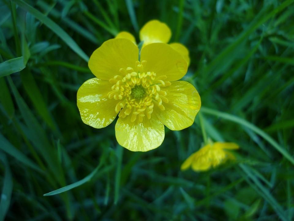 ilmaisen valokuvan  kukka  myrkyllinen  keltainen - ilmainen kuva pixabayssa