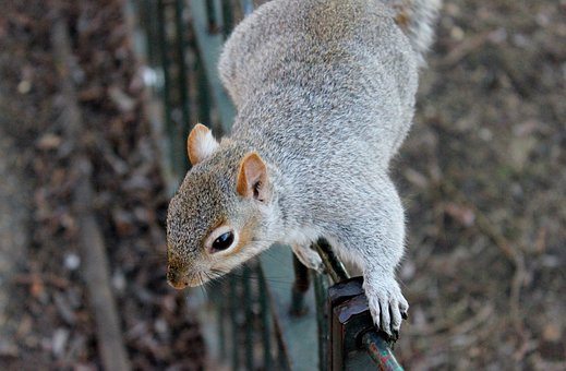 Squirrel Squirrels Wildlife Animals Outdoo