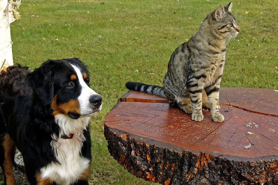 Bernese Mountain Dog, Hunde, Tabby, Stribet, Kat