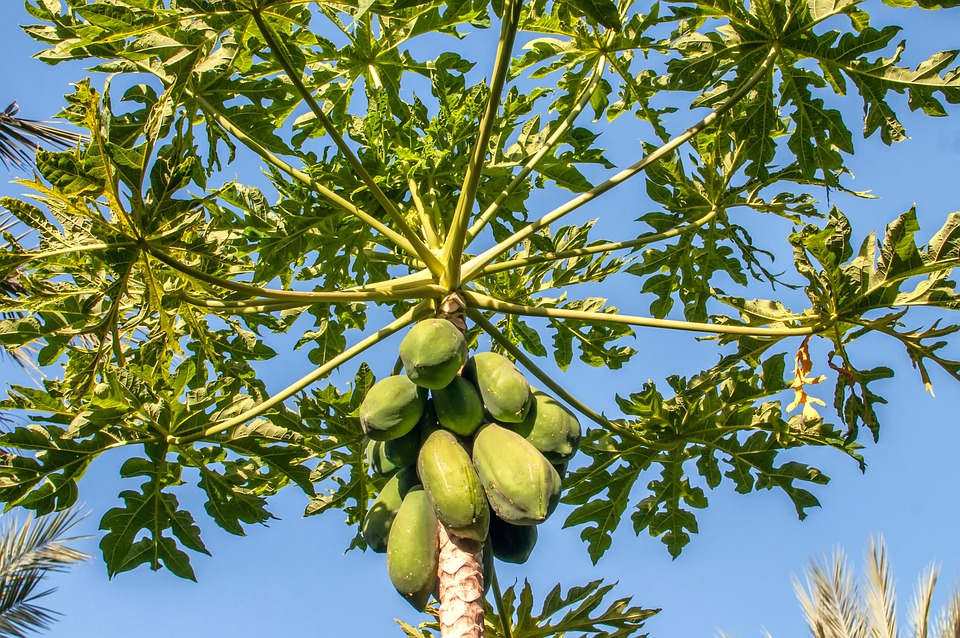 Margarita Island Papaya Tree Sky Clouds Nature