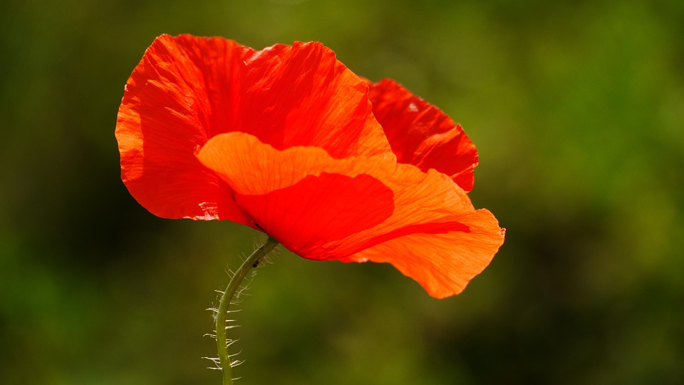 poppy, flower  free images on pixabay, Beautiful flower