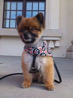 Dwarf Spitz, Pomeranian, Dog, Small Dog