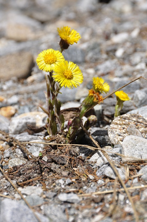 Fiori Alpini Gialli.Fiore Alpine Fiori Alpini Foto Gratis Su Pixabay