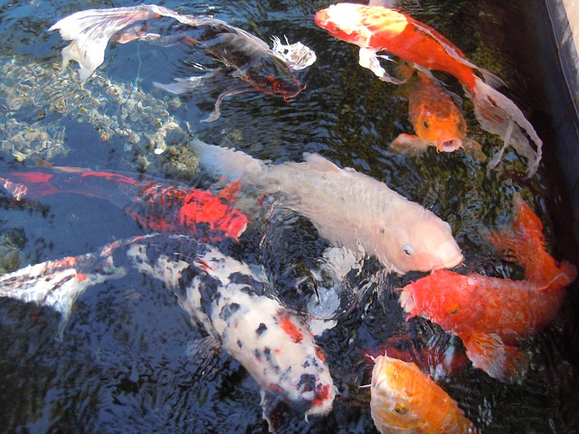 Free photo fish water fish swarm nishikigoi free for Nishikigoi koi