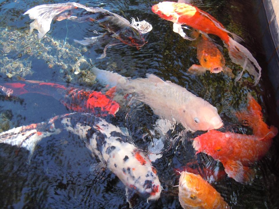 Free photo fish water fish swarm nishikigoi free for Koi fish water