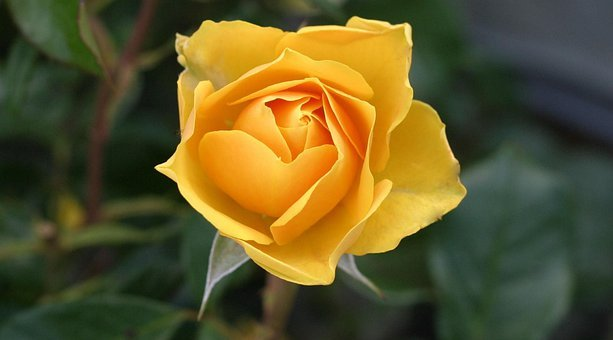 Full Hd Yellow Rose Flower Wallpapers