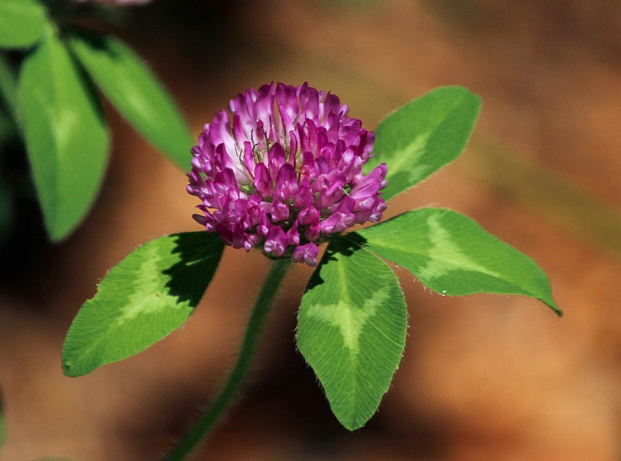 Клевер и его цветок фото