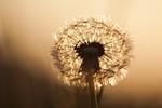 dandelion, flowers, summer