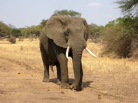 Elephant, African Bush Elephant