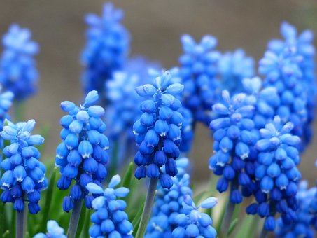 Muscari, Common Grape Hyacinth, Blossom