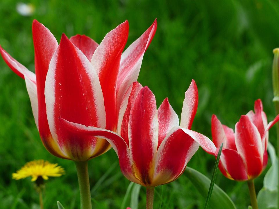 Tulip Red White Lily Flowered - Free photo on Pixabay