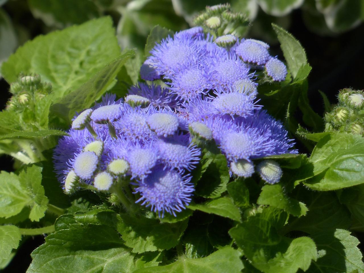 42 растения с синими цветками Дизайн участка (Огород. ru) 17