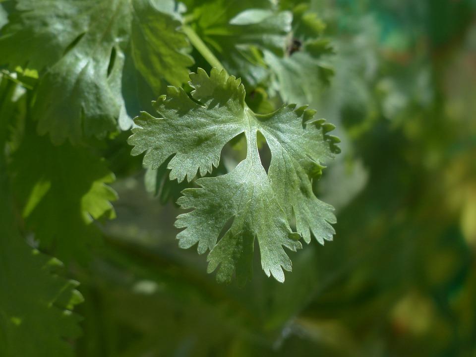 Real Coriander, Coriander, Culinary Herbs, Plant