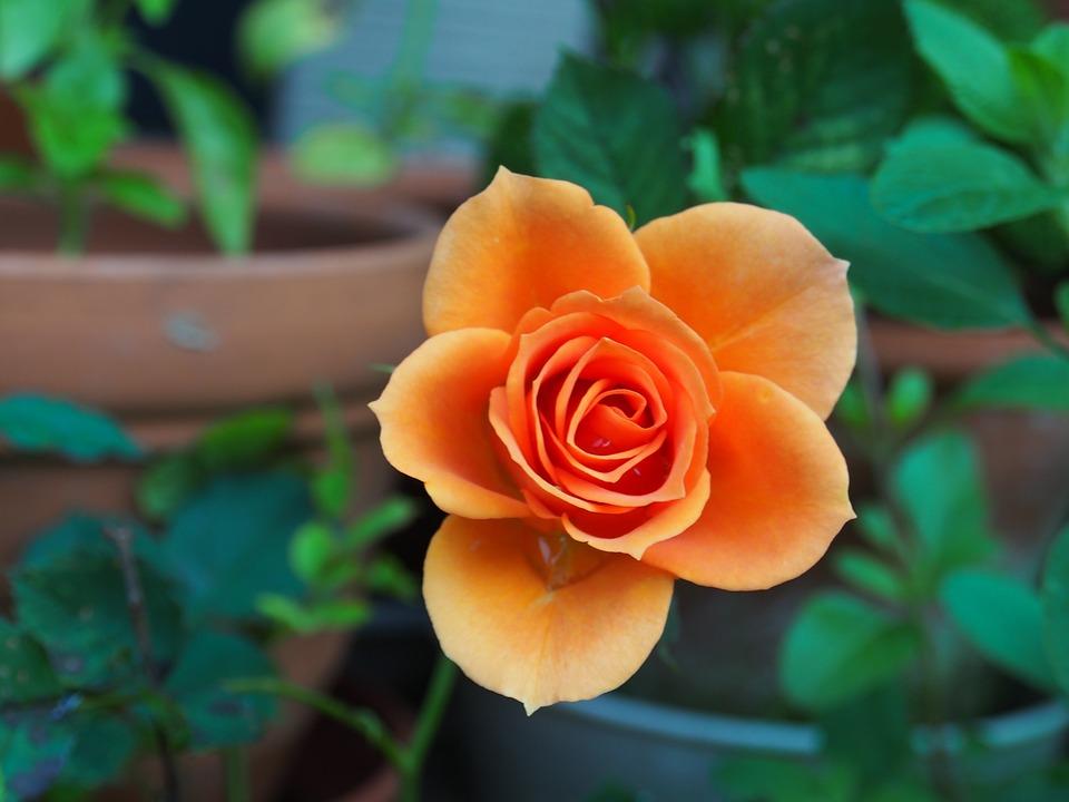 Mawar, salah satu jenis tanaman hias bunga yang cukup mudah ditanam. (Foto: Pixabay)