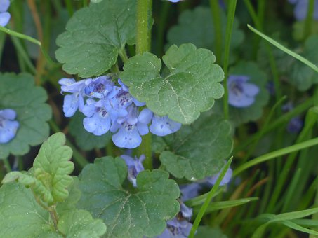 Gundermann, Blume, Blüte, Pflanze