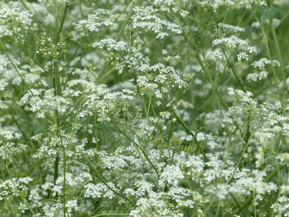Cow parsley blossom bloom free photo on pixabay cow parsley blossom bloom white meadow mightylinksfo