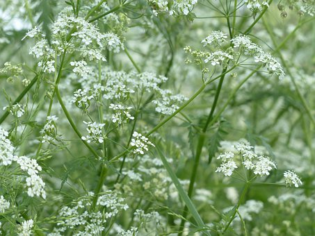 Cow Parsley Blossom Bloom White Meadow Wil