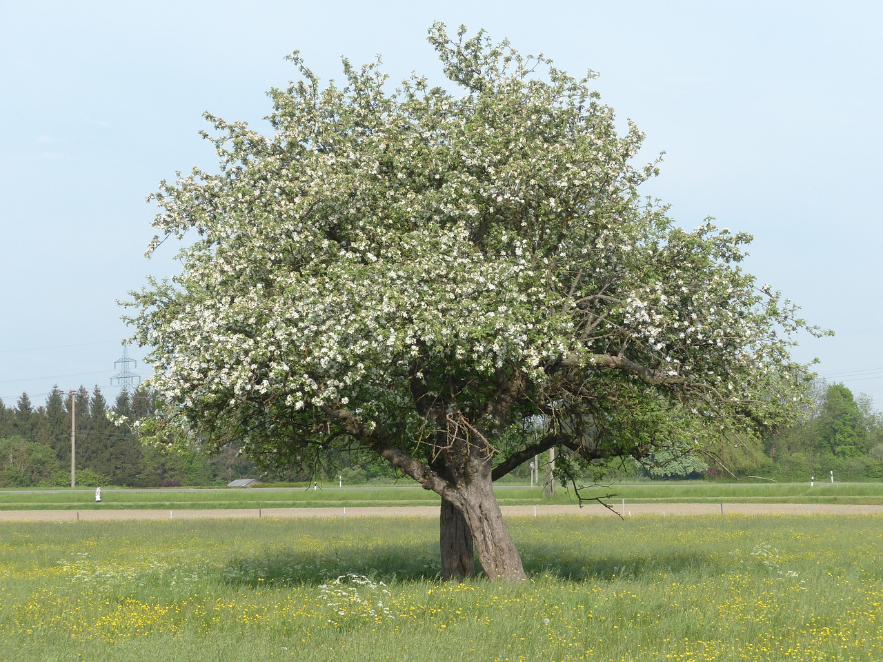 Картинка яблоня высокая