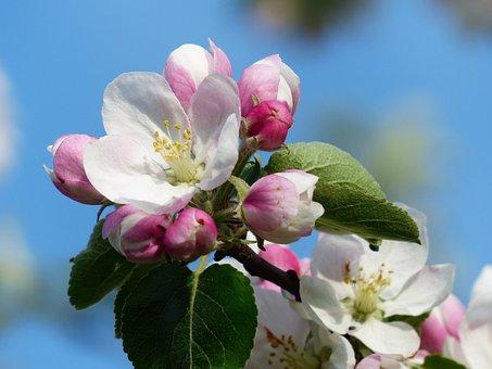 Jablko Květ, Květ, Bílá, Růžový, Malus