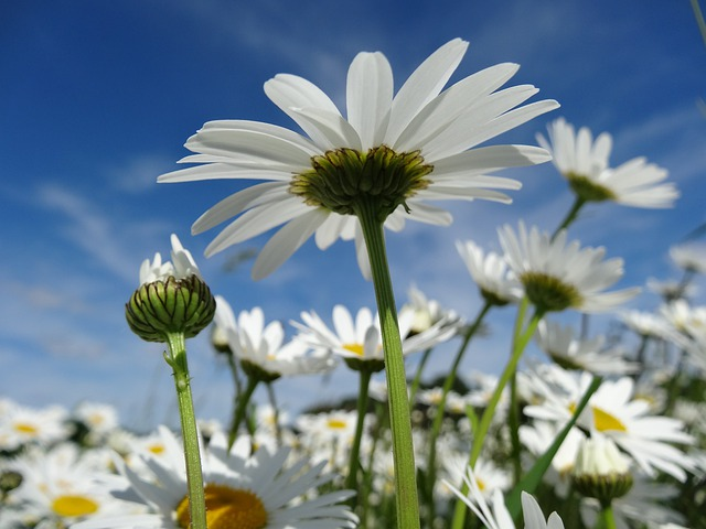 free photo daisy, flower meadow, flowers  free image on pixabay, Beautiful flower