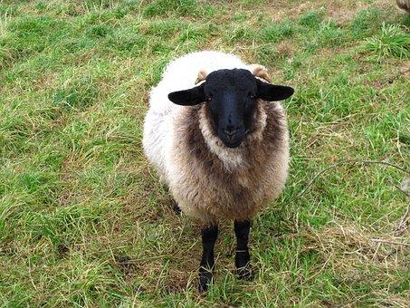 Sheep, Animals, Wool, Green, Farm