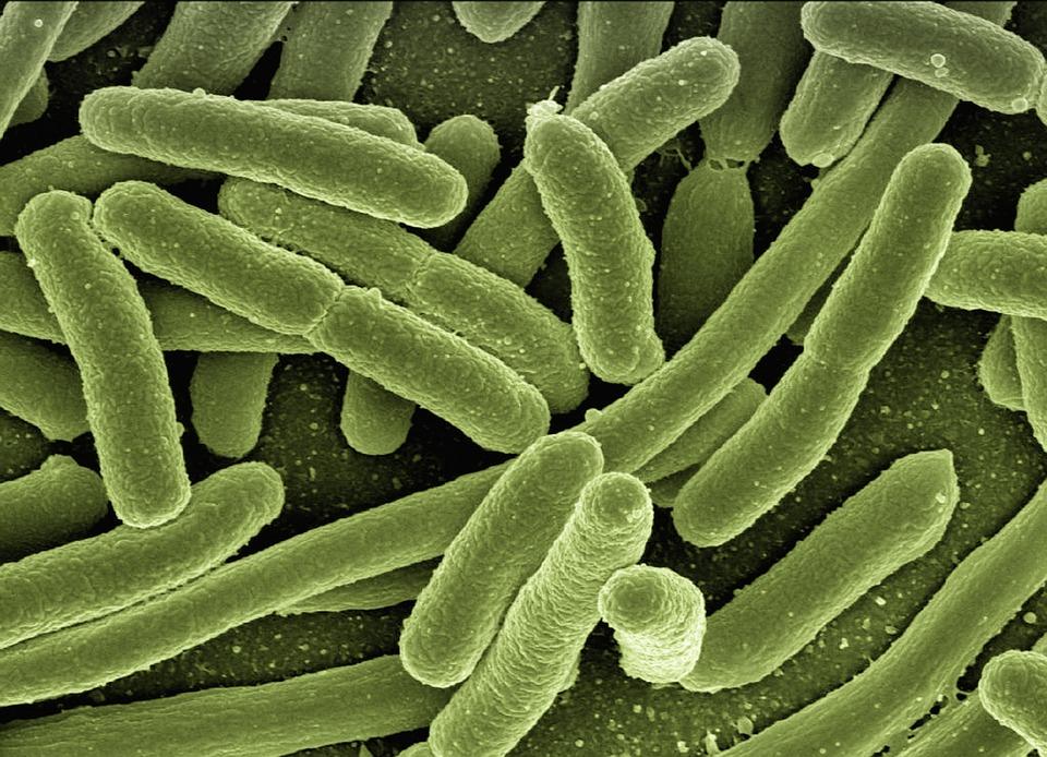 Bakterie Koli, Escherichia Coli, Bakterie, Choroby