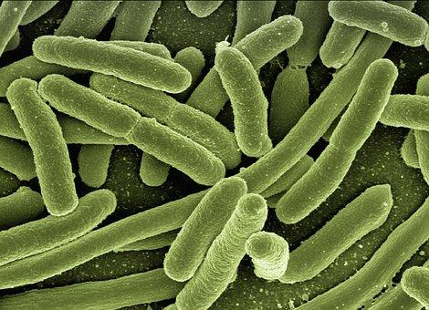 Koli Bacteria, Escherichia Coli