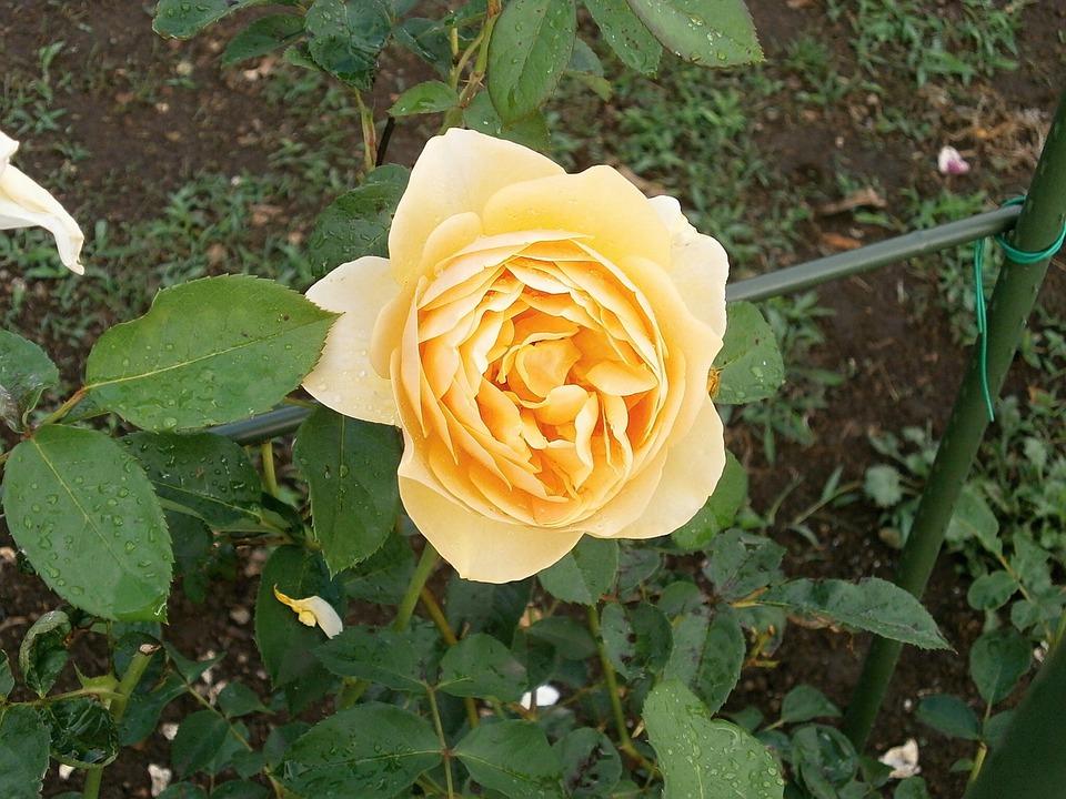 rose cream color rose garden - Cream Garden Rose