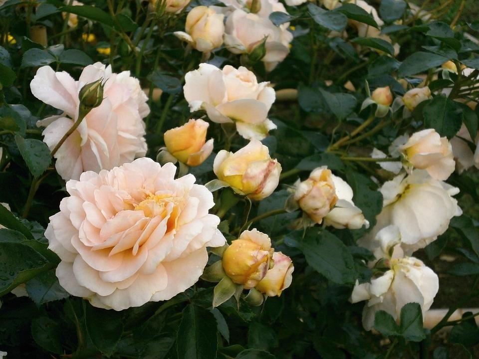 Cream Garden Rose free photo: rose, cream color, rose garden - free image on pixabay