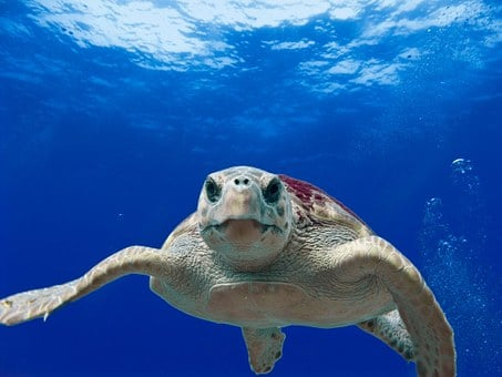 Loggerhead Turtle, Sea, Ocean, Water