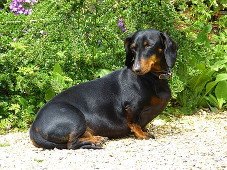 300+ Free Dachshund & Dog Images - Pixabay
