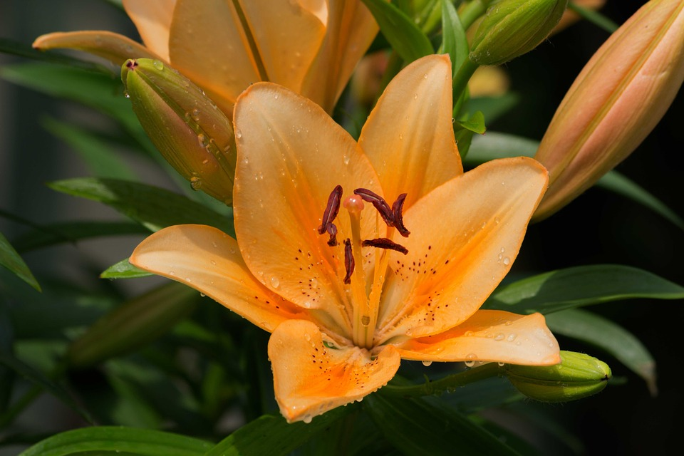 free photo lily flower daylily flowers free image on pixabay 123609