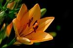 lily, flower, daylily