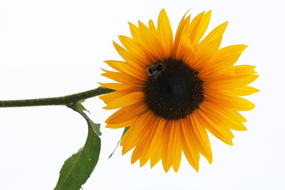 free photo sun flower  flower  blossom  bloom free summer vector images summer vector graphics