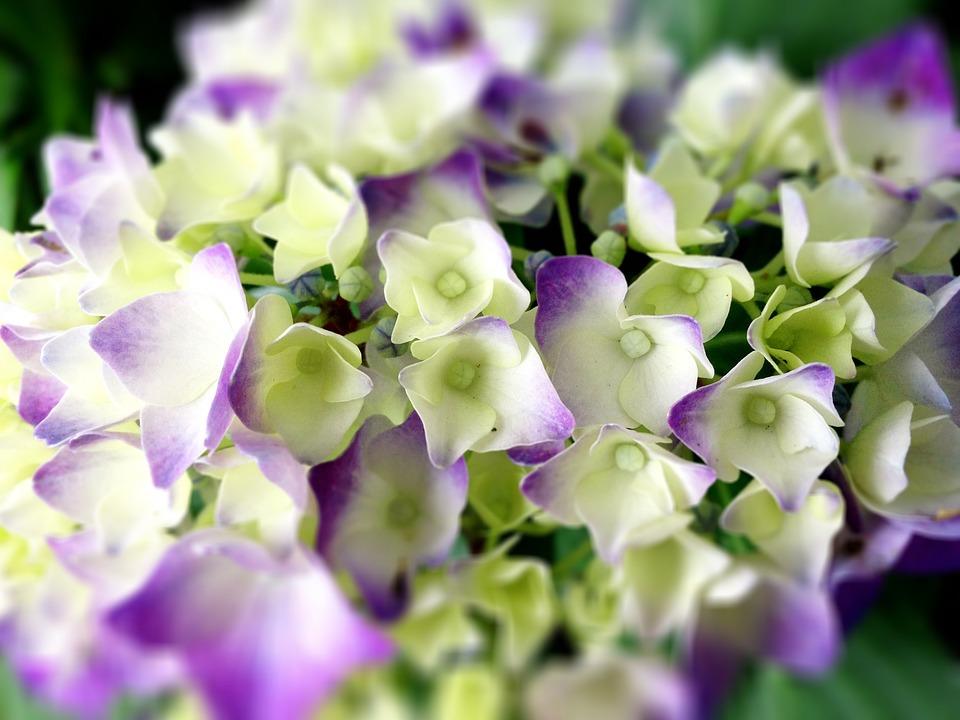 free photo hydrangea, flowers, rainy season  free image on, Natural flower