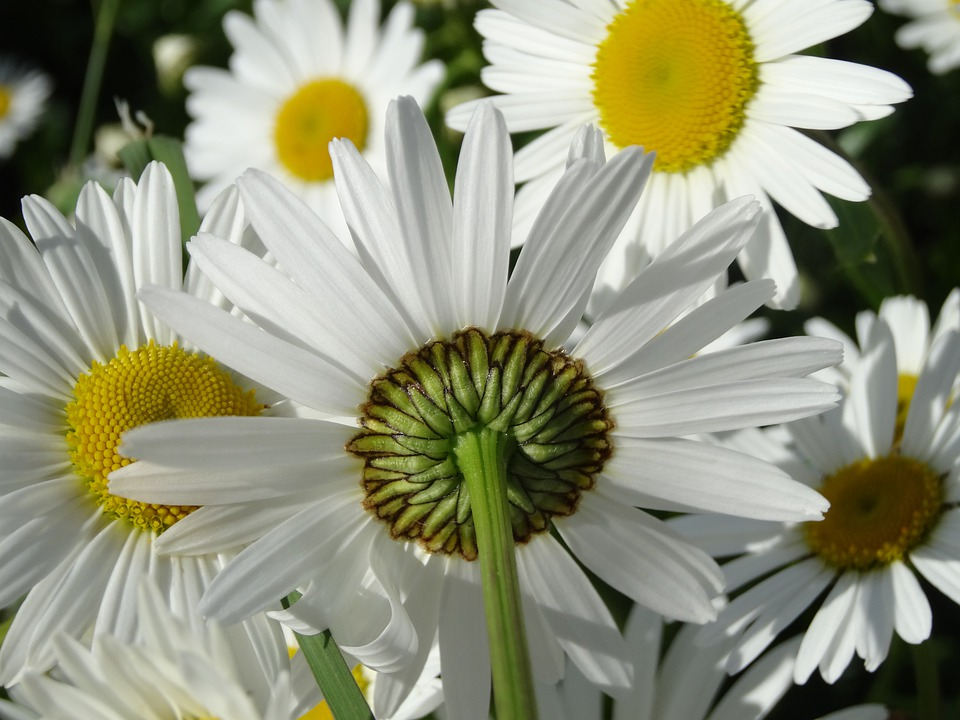 daisies  free images on pixabay, Beautiful flower