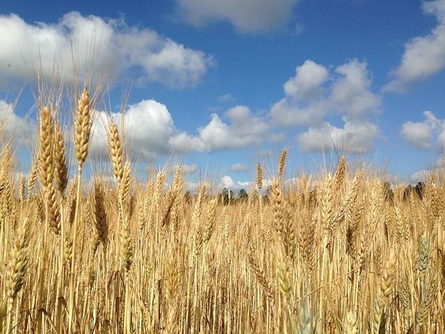 Free Photo Wheat Field Blue Sky Clouds Free Image On Pixabay 139193