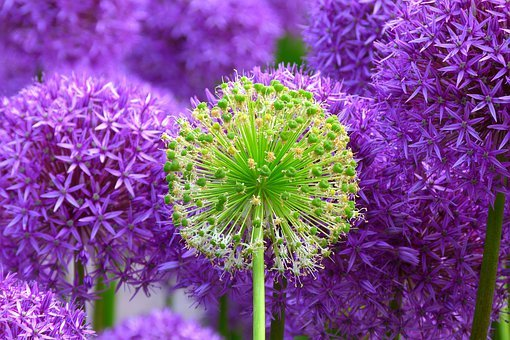 purple, flowers  free images on pixabay, Beautiful flower