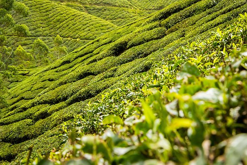 Tea Leaves, Tea, Plantation, Hills